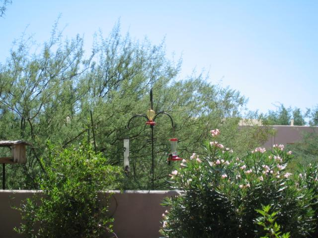 oreole at the birdfeeder