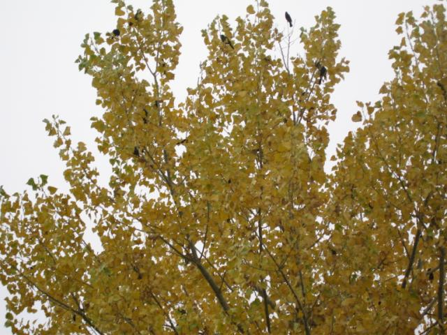 black birds in a yellow tree