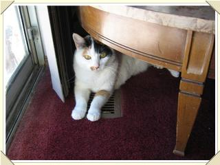cat in the vent