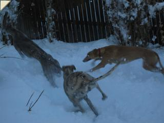 Hounds playing in the snow